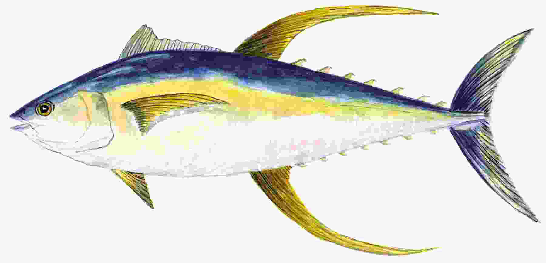 301 moved permanently for Tuna fish nutrition